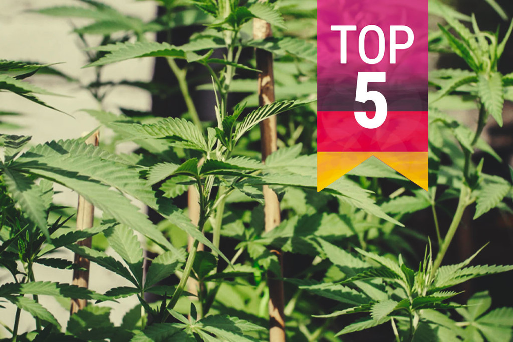 Top 5 Most Popular Cannabis Strains To Grow In Germany