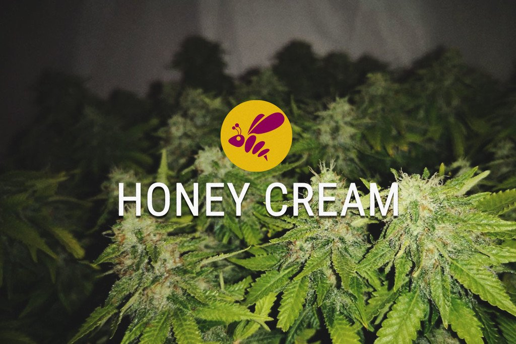 Honey Cream Feminized Cannabis seeds