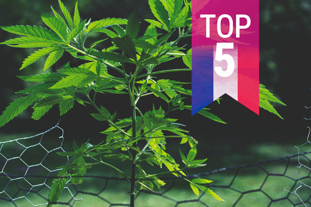 Top 5 Most Popular Strains In France