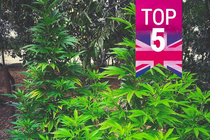 Top 5 Most Popular Strains In The UK