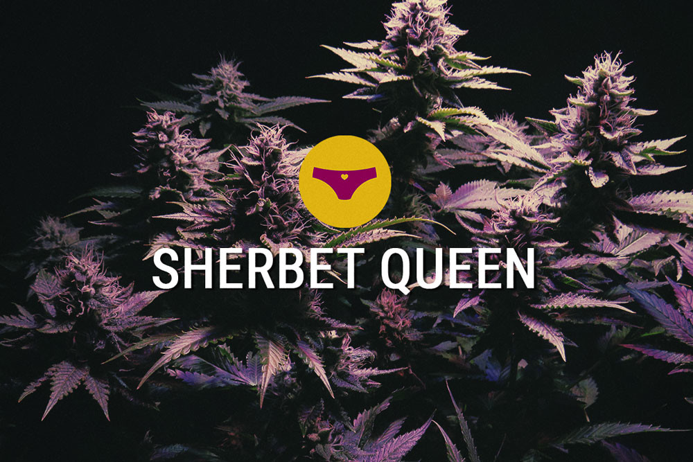 Sherbet Queen: Luscious Indica With Insane Potency
