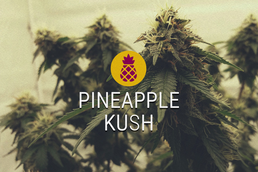 Pineapple Kush Feminized Cannabis Seeds