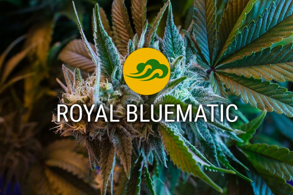 Royal Bluematic Autoflowering Cannabis Seeds Rqs Blog