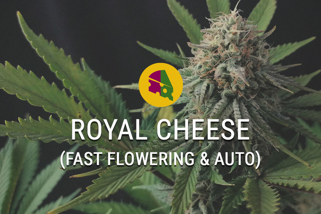 Royal Cheese Feminized Marijuana Strain