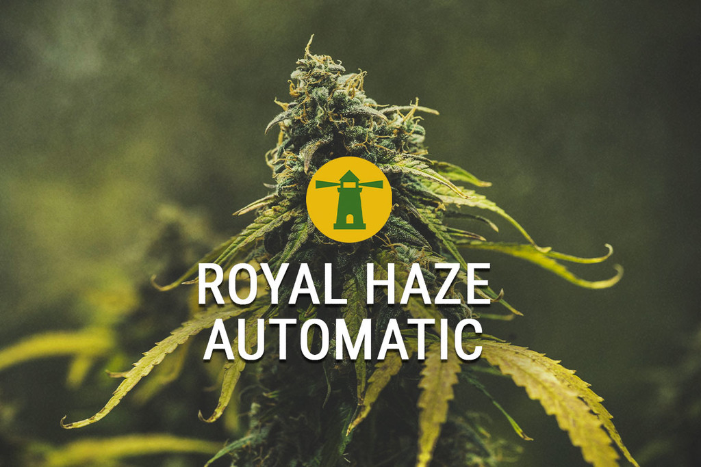 Royal Haze Automatic delivers fast turnaround, buzz fit for king