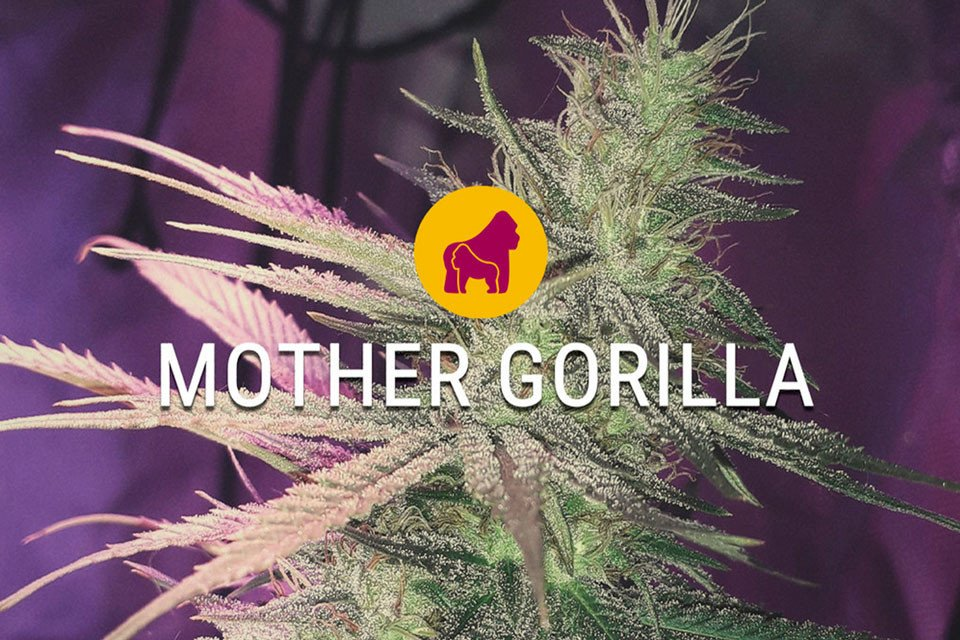 Mother Gorilla Cannabis Seeds Review