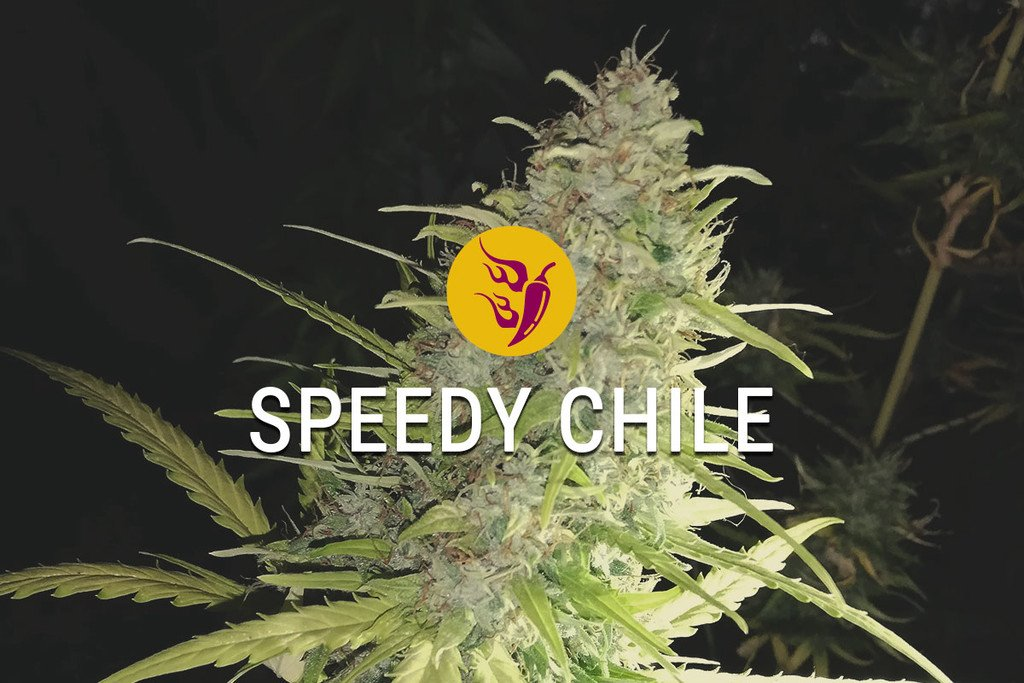 Speedy Chile Feminized Marijuana Seeds