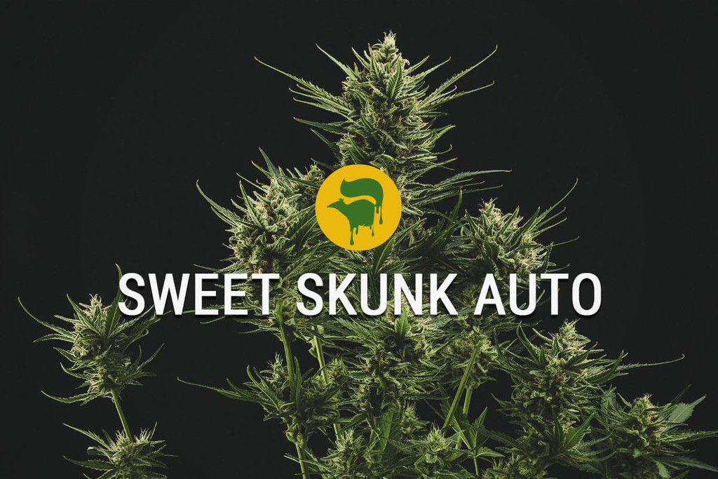 Sweet Skunk Automatic Cannabis Seeds