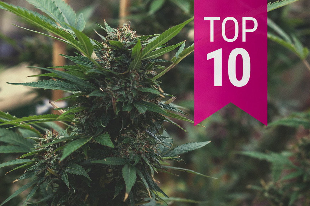 Top 10 Most Popular Feminized Cannabis Strains (2020 Update)