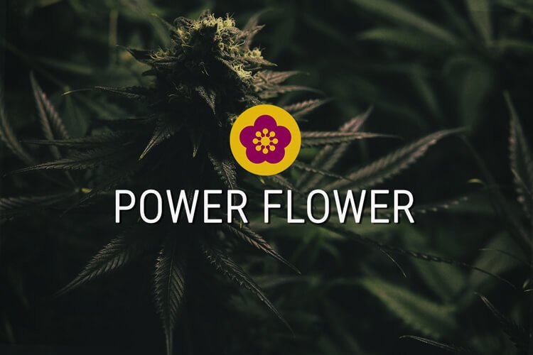 Power Flower Feminized Cannabis Seeds