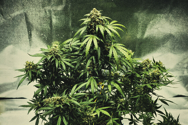 Tips For Growing Autoflowering Cannabis Indoors