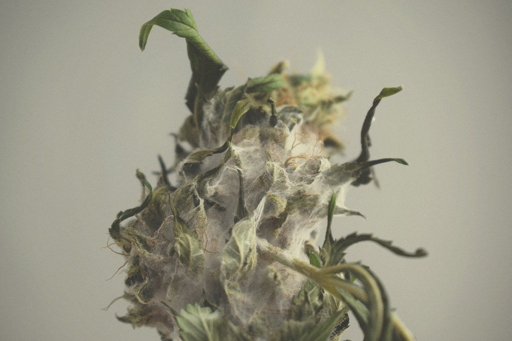 Cannabis Mould: Identification, Prevention, and Treatment