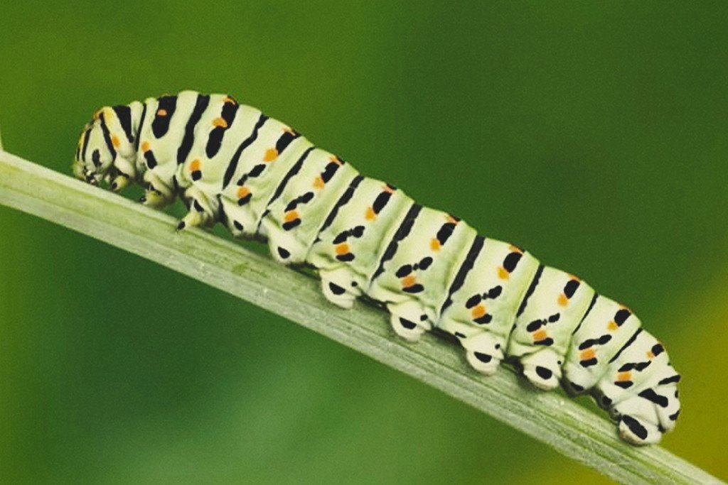 How to Keep Caterpillars Off Your Cannabis Plants