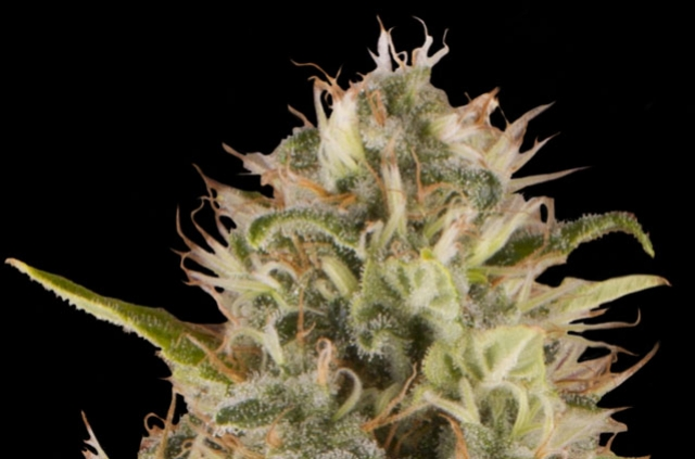 Royal Moby Feminized Cannabis Seeds