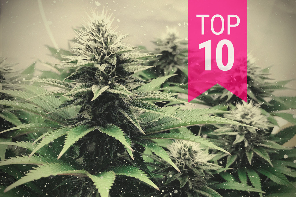 Top 10 Cannabis Strains For Colder Climates In 2019