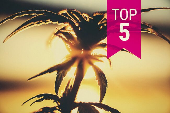Top 5 Cannabis Strains For Warmer Climates