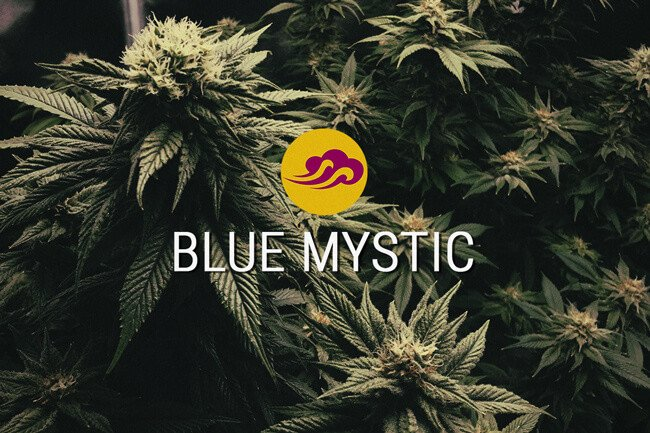 Blue Mystic Feminized Cannabis Seeds