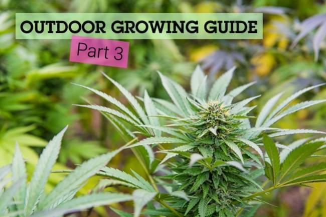 The Basics of Cannabis Outdoor Growing (Part 3)