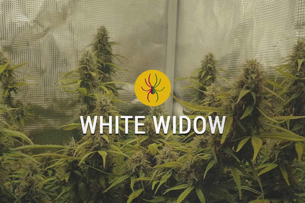 white widow weed marijuana - photo #3
