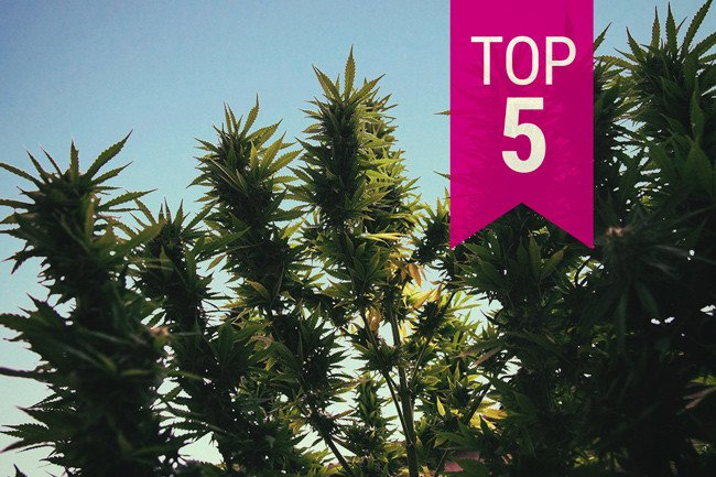 Top 5 Cannabis Strains For Outdoor Growing