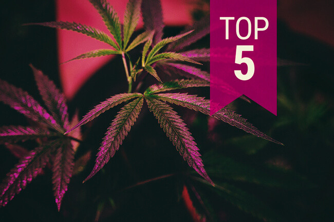 Top 5 Cannabis Strains for Indoor Growing