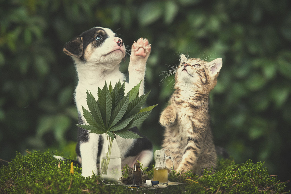 Medical Cannabis for Ailing Pets: Is It Worth a Try?