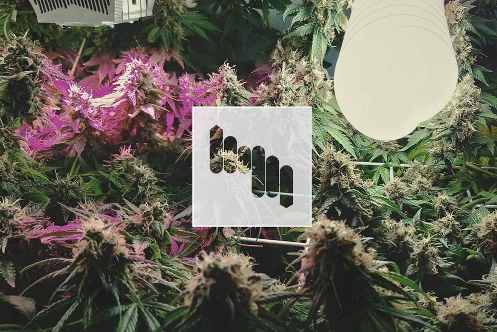 Cannabis Cultivation: The Light Spectrum and Ways to Raise THC Levels