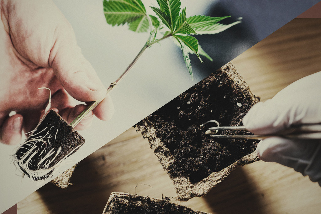 Growing Cannabis Plants: Seeds Versus Clones