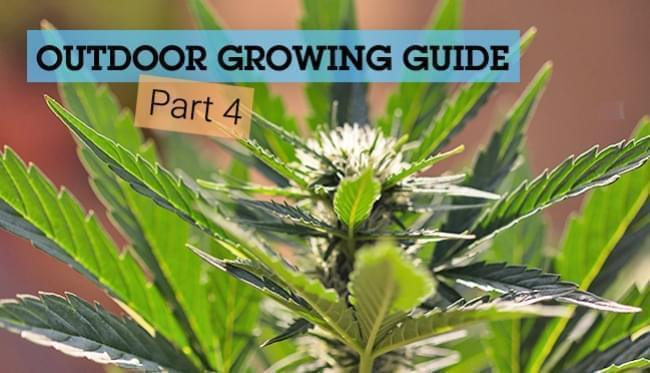 The Basics of Cannabis Outdoor Growing (Part 4)