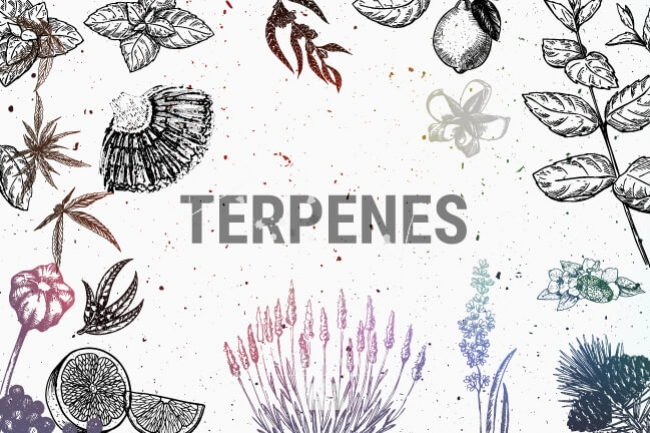 Cannabis Terpenes: How They Work and Their Effects
