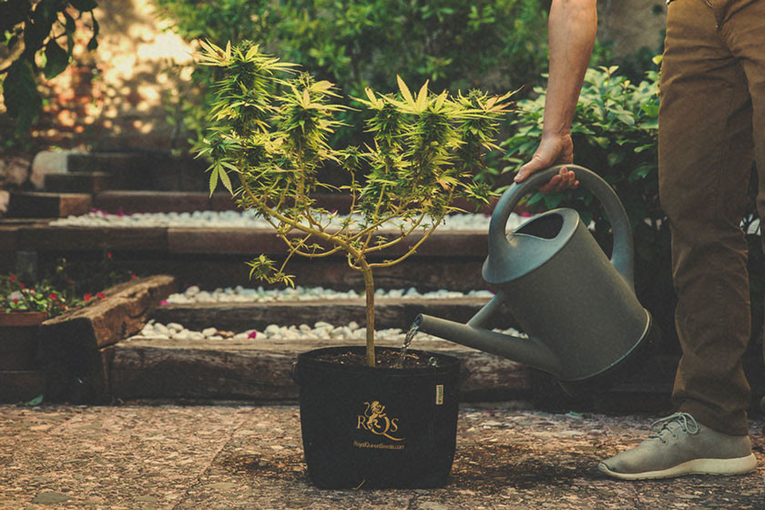 How and When to Flush Marijuana Plants