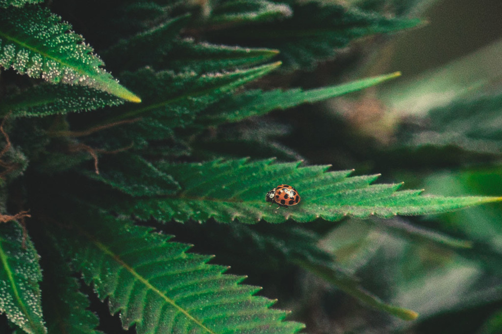 Cannabis 101: Ladybugs as a Natural Solution to Spider Mites