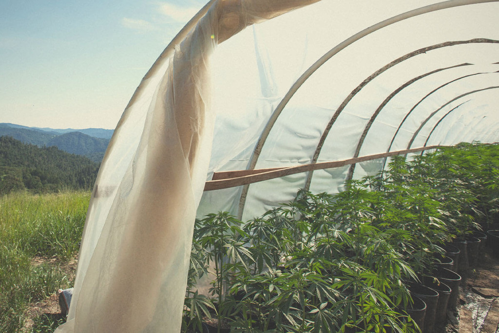 How to Grow Cannabis in a Greenhouse: A Guide