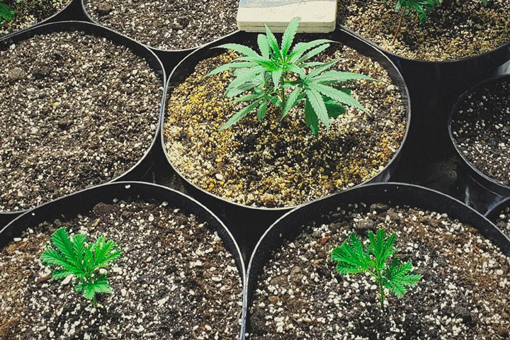 How to Get Clones from Your Cannabis Plants