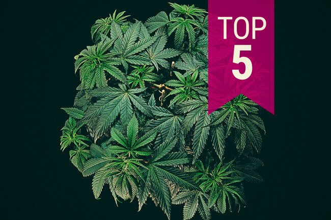 Top 5 Cannabis Strains For Beginner Smokers & Growers (2020)
