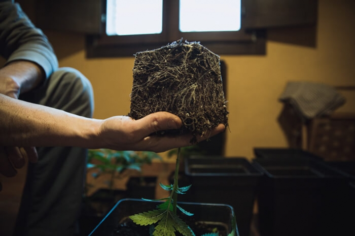 How And When To Transplant Your Cannabis Plants