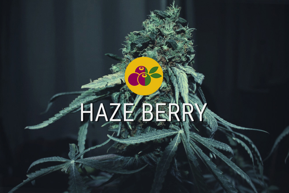 Haze Berry feminized cannabis