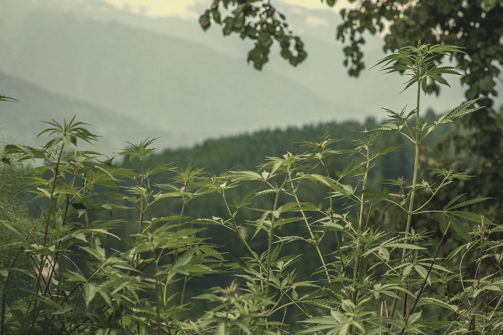 Cannabis Ruderalis: The Rugged Weed