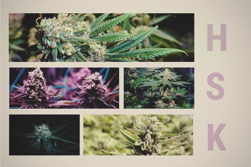 Skunk, Haze, And Kush: The Foundations Of Today's Cannabis - RQS Blog