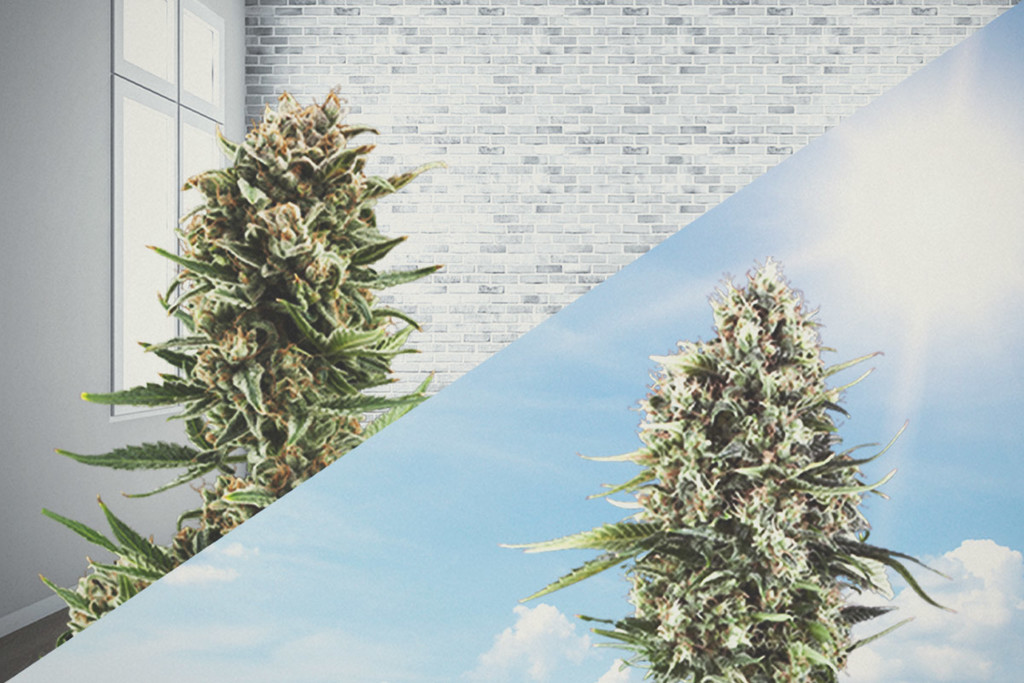 How To Start Your Cannabis Plants Indoors And Move Them Outdoors