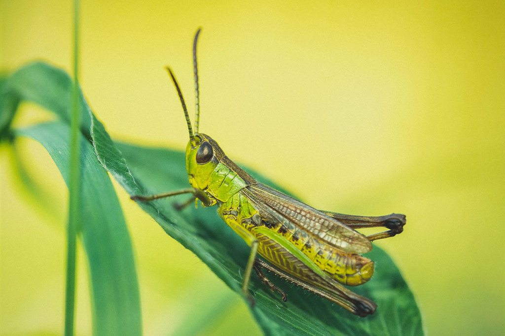 How To Identify, Treat, and Protect Your Cannabis From Grasshoppers