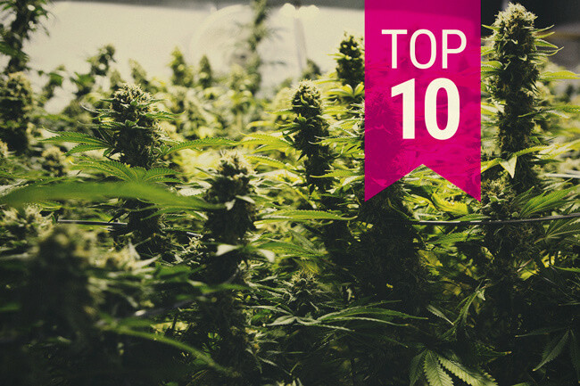 Top 10 Productive Cannabis Strains (By Categories)