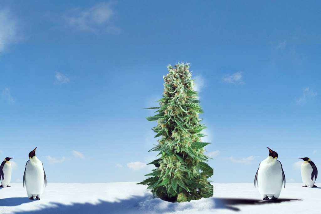 Hot Tips For Growing Marijuana In Cold Weather