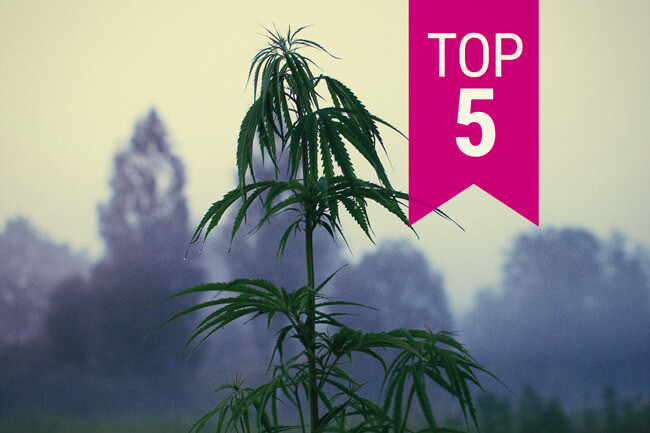The Top 5 Of The Most Resistant RQS Cannabis Strains