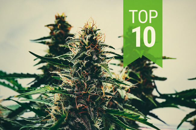 Top 10 Autoflowering Cannabis Strains (2019 Update)
