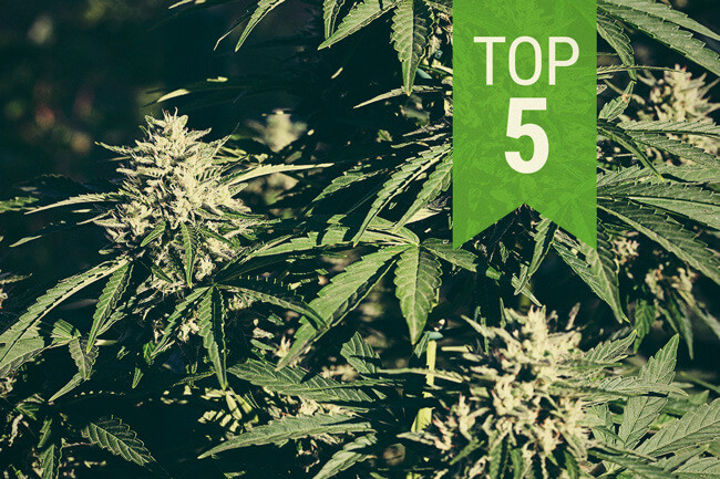 Top 5 Autoflowering Strains For Warm Climates