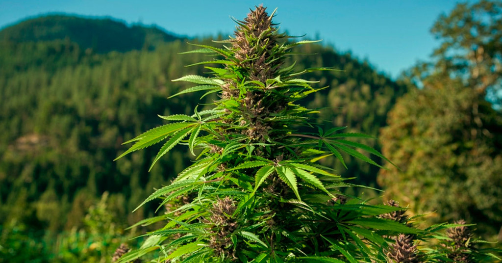 Landrace Cannabis - In Search of The Missing Genotype