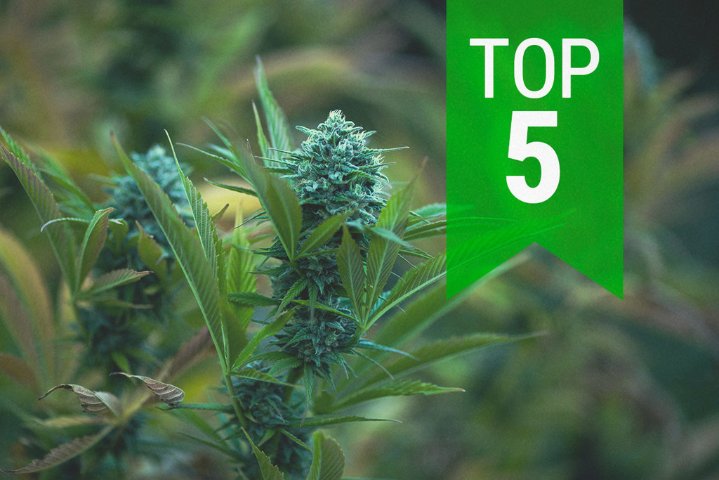 Top 5 Autoflowering Strains For Cold Climates