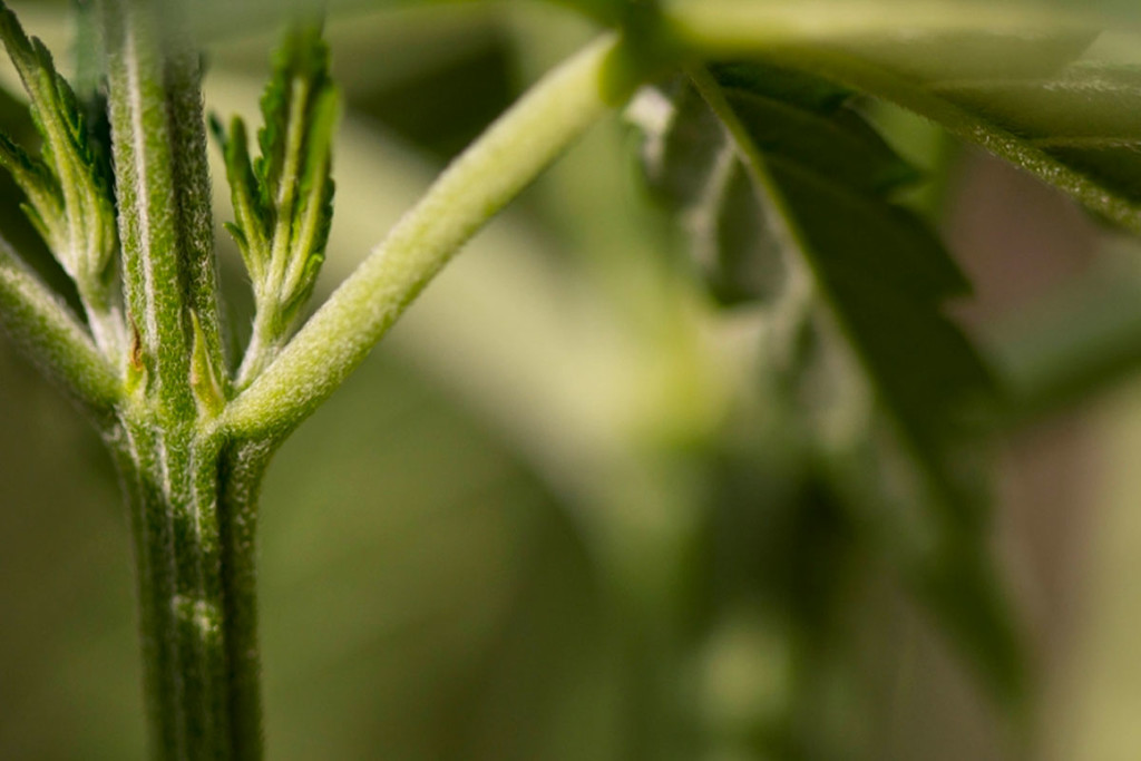 How To Put Your Cannabis Stems To Good Use