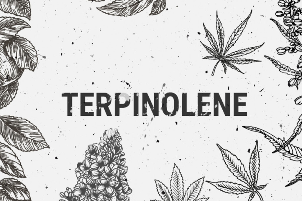 Terpinolene: Everything You Need to Know